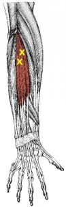 extensor-digitorum-trp-muscle